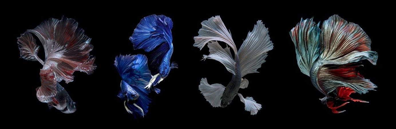 Temporary Exhibition - Beauty of Betta